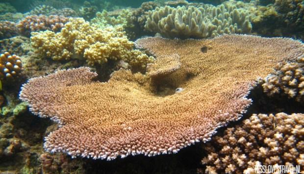 groot koraal