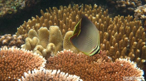 vis geelstreep