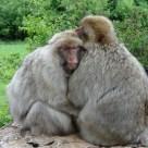 Macaques de Barbarie dns le forêt des Singes de Rocamadour