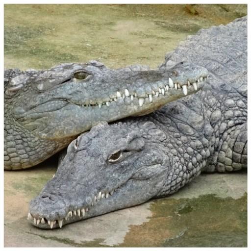 les crocodiles de la ferme aux crocodiles