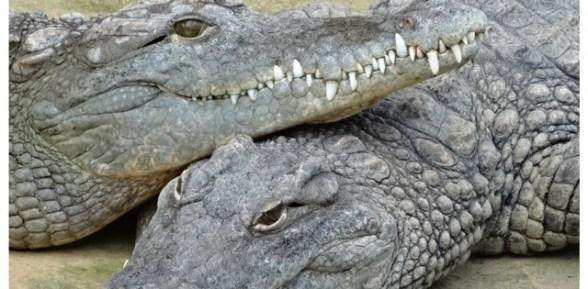 Visiter la ferme aux crocodiles en famille