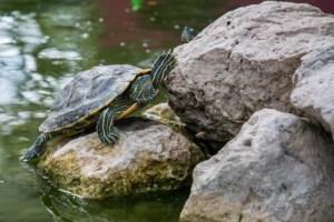 animal-stones-turtle-2085-524x350