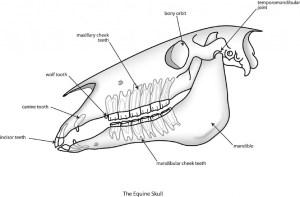 Equine Skull Anatomy, interesting facts  Texas Equine