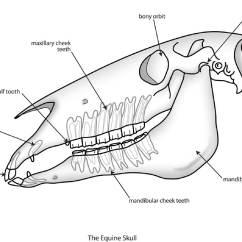 Human Mandible Diagram Murray Lawn Mower Belt Skull Dental Wiring Data Woolly Mammoth Equine Anatomy Interesting Facts