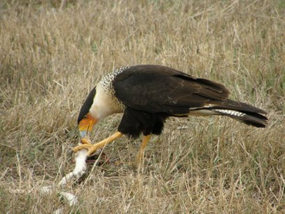 caracara mexican eagles in