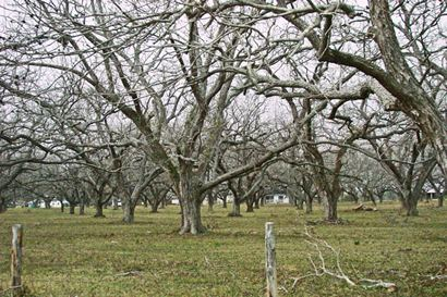 Boling TX Pecan Orchard