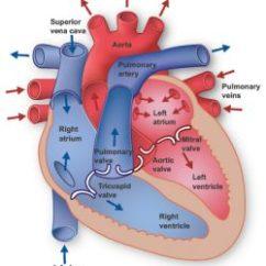 Anatomical Heart Diagram 2001 Dodge Caravan Starter Wiring Information Center Anatomy Texas Institute