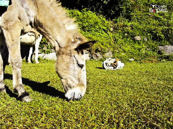 Grazing away; mule on break