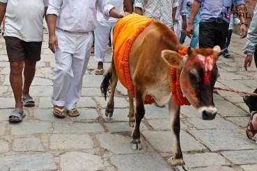 gaijatra-kathmandu-20130822-2