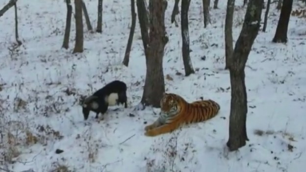 Russian Tiger Becomes Friends With His Food: A Goat