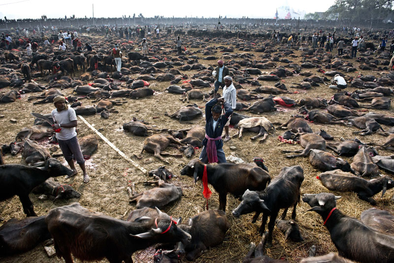 In this photograph taken on November 28, 2014, a butcher gets ready to kill a buffalo during a mass slaughter of the animals for the Gadhimai festival inside a walled enclosure in the village of Bariyapur. Photo: AFP PHOTO/ROBERTO SCHMIDT/FILES