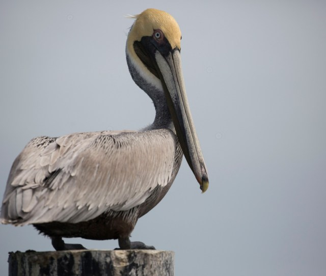 Pelicans Are Dying Along A South Texas Highway But There May Be A