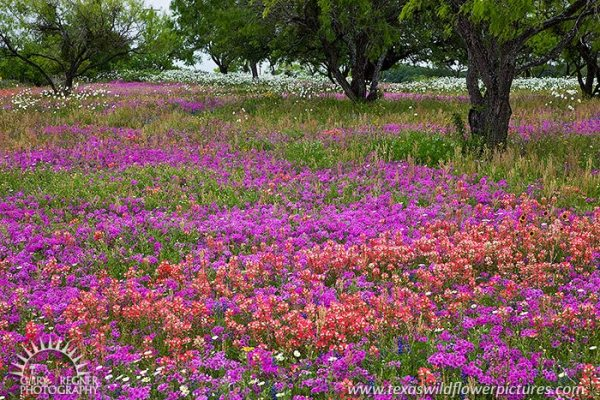 texas wildflower and bluebonnet