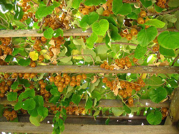 φυτά για πέργκολες14