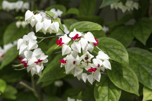 φυτά για πέργκολες17