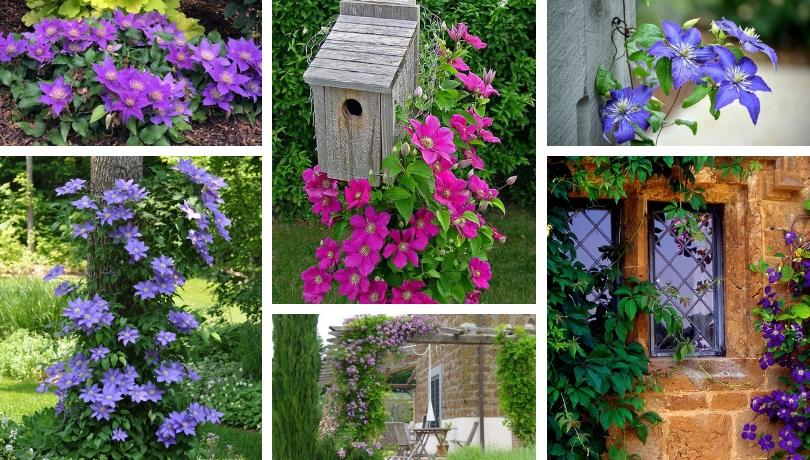 Κληματίδα, η βασίλισσα των αναρριχώμενων φυτών - υπέροχες ιδέες για την αυλή και τον κήπο σας