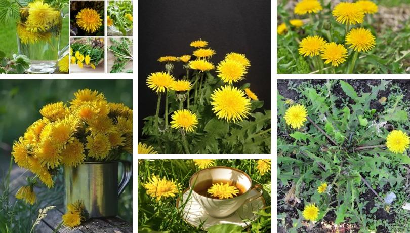 Πικραλίδες - όχι ένα ενοχλητικό ζιζάνιο, αλλά ένα φαρμακευτικό φυτό στον κήπο σας