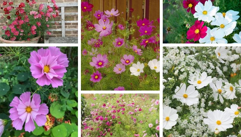 Κόσμος, ένα πανέμορφο λουλούδι για το μπαλκόνι και τον κήπο σας