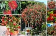 Καλλιστήμονας ένα καταπληκτικό φυτό για γλάστρα και τον κήπο σας