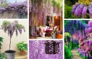 Γλυτσίνια - Wisteria, ένα μαγικό φυτό με κρεμαστά άνθη στην αυλή ή τον κήπο σας