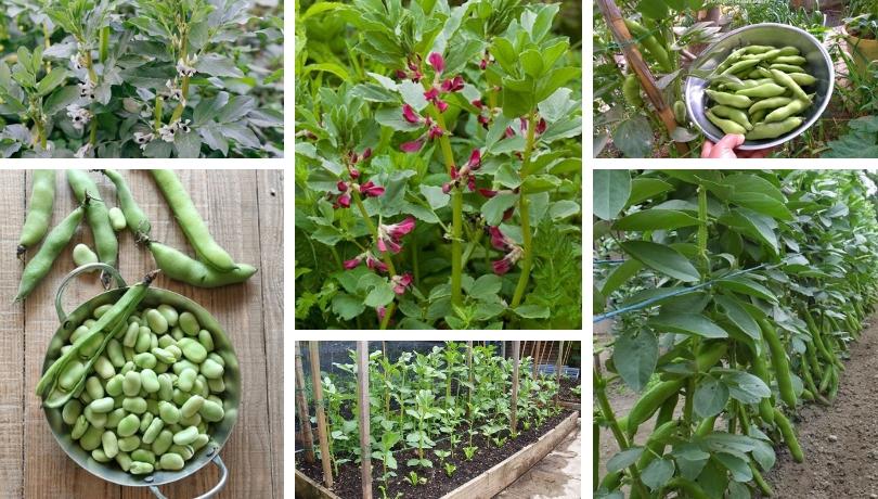 Κουκιά καλλιέργεια: Ένα σπουδαίο λαχανικό στον κήπο σας