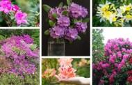 Αζαλέα ένα φυτό που ταιριάζει σε κάθε ελληνικό σπίτι: καλλιέργεια και φροντίδα σε γλάστρα ή τον κήπο σας
