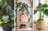 Αλοκάσια, ένα φυτό που μοιάζει με αυτί ελέφαντα και με  εξωτική γοητεία για το σπίτι σας