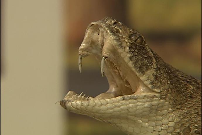 Poisonous Snake Bites Texoma Child_-6805096983807834331
