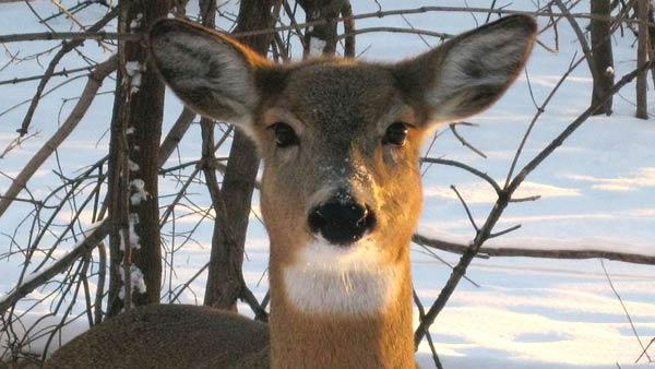 Deer generic_14687-873703986-873703986