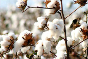 High Grade and Coarse Grade Cotton