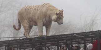 Un tigre mató a trabajadora del Parque Safari de Rancagua