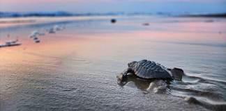 Liberación de las tortugas