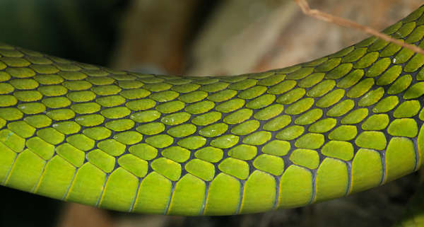 Reptiles0021  Free Background Texture  snake reptile