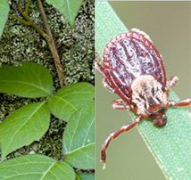 Safety First: 'Tis the Season for Poison Ivy and Tick Bites