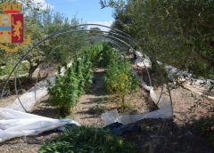 Arrestata una coppia di coniugi coltivatori diretti di marijuana