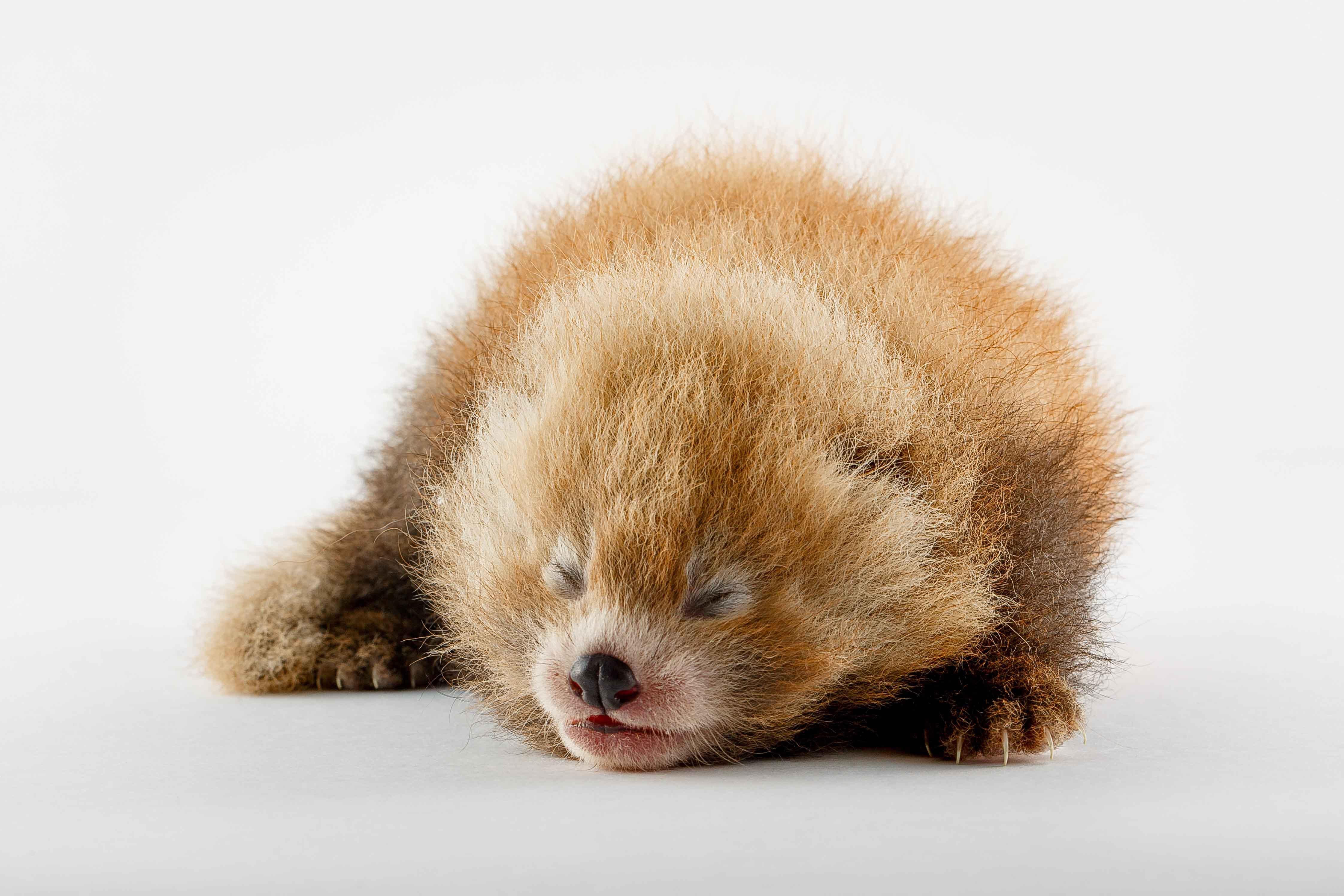 Baby cuccioli di panda rosso  Tgcom24  Foto 1
