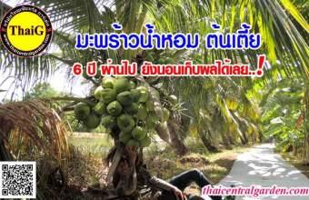 ต้นมะพร้าวน้ำหอมต้นเตี้ย สวนมะพร้าวสามพราน