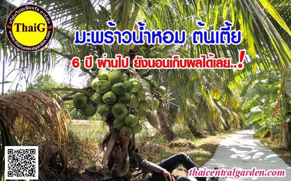 ต้น มะพร้าวน้ำหอมสามพราน ต้นเตี้ย สวนมะพร้าวสามพราน