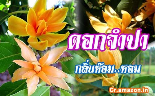 ต้นจำปา สวน ThaiG