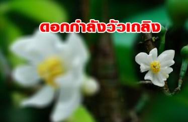 ดอก ต้นกำลังวัวเถลิง ต้นสมุนไพรสวนThaiG สามพราน
