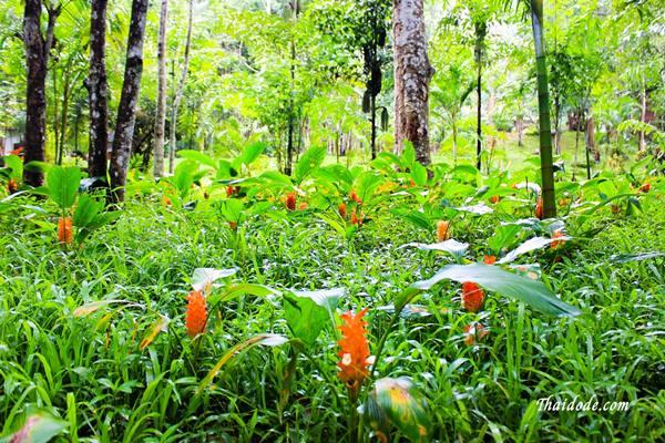 ภาพของดอกกระเจียวที่ตั้งอยู่ในเขตอุทยานแห่งชาติน้ำตกพาเจริญ