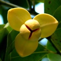 Cambodia's national flower