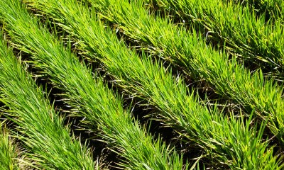 system of rice intensification (SRI) is gaining ground across Asia