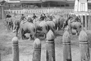 1898-kings elephant round up Ayutthaya