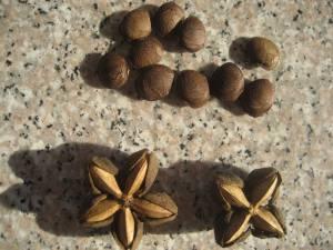 Plukenetia Inca or Sacha Peanuts by SiamSpain Herbal Health