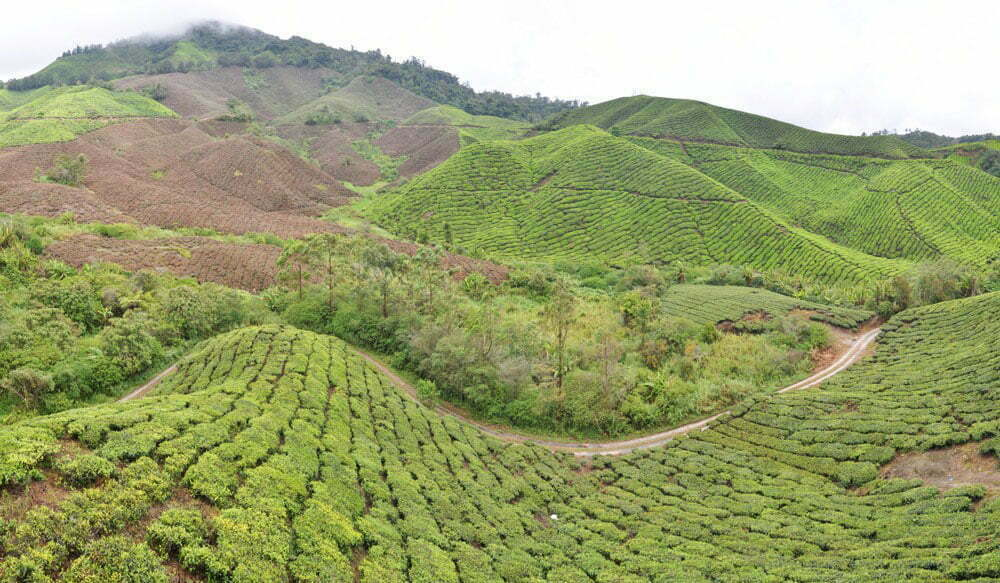 Panorama plantation thé des Cameron Highlands