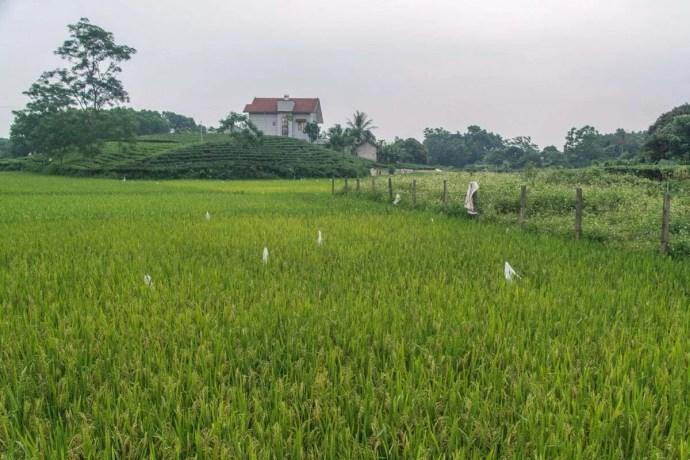 plantations thé et rizières Thai Nguyen