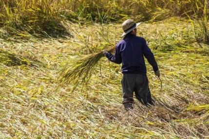 rizière Luang Namtha - Laos