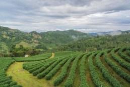 Plantation de thé de Mae Salong.