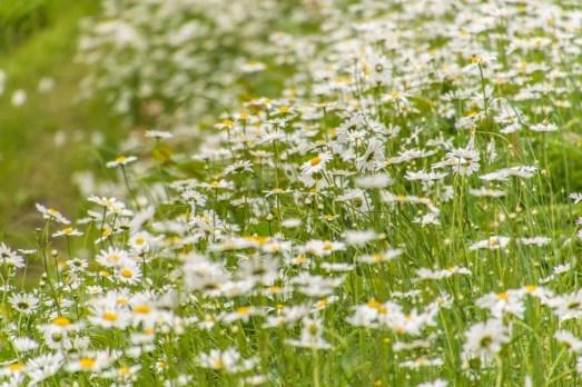 fleurs blanches village miyama kayabuki-no-sato - kyoto prefecture japon